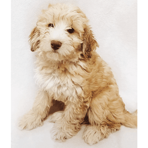 Havapoo Dogs (Puppies) for Sale in Brooklyn, NY - Teacup Pups