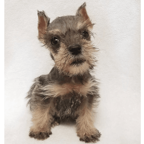 Teacup Schnauzer Puppies for Sale in Brooklyn, NY - Teacup Pups