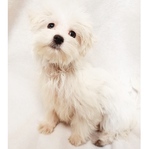 Teacup Morkie Puppies For Sale In Brooklyn Ny Teacup Pups
