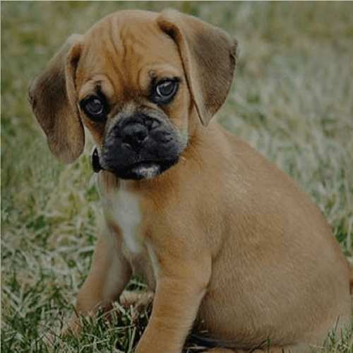 Small And Large Dog Breeds From Cerified Breeders Teacup