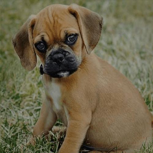 Teacup Puggle Puppies For Sale - Goldenacresdogs com