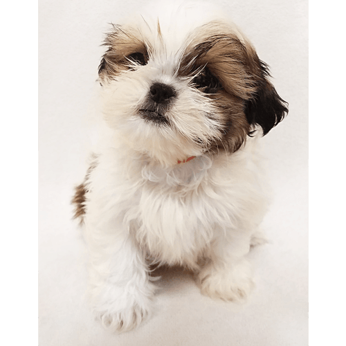 Shih Tzu Puppies For Sale In Ny Brooklyn Teacup Pups