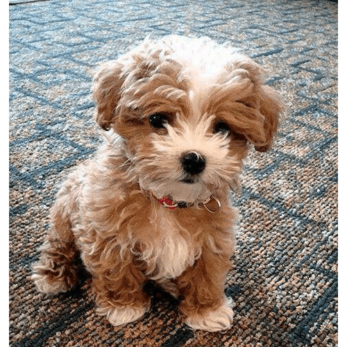 Teddy Bear Puppies for Sale in NY (Brooklyn) - Teacup Pups